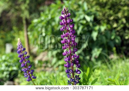 In The Photo Lupinus Hybridus Grown In Gardens. Lupinus, Commonly Known As Lupin Or Lupine, Is A Gen