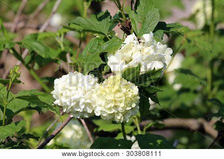 Guelder Rose Or Viburnum Opulus Or Roseum Or Sterile Or Snowball Tree Or Water Elder Or Cramp Bark O