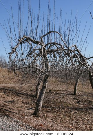 Apple Tree Winter