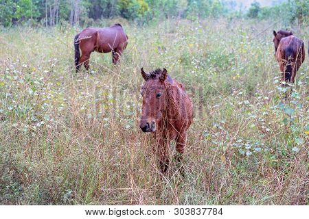Starving wild brumbie horses grazing in a grassy country paddock in the rain poster