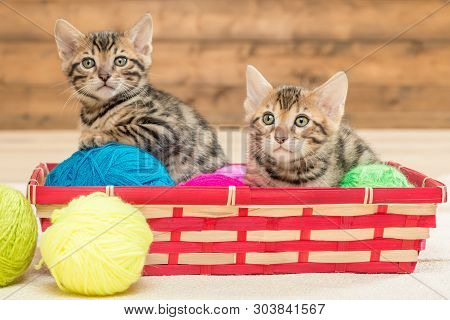 Two Kittens Of Bengali Breed Sit In A Wicker Basket, Play With Threads