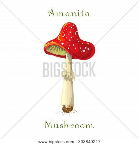 Fly Mushroom Amanita Muscaria Isolated On White Background. Red Spotted Poisonous Mushroom. Forest P