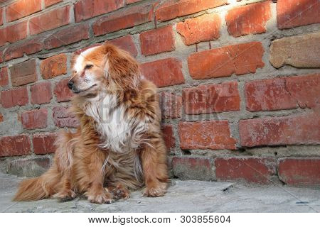 Dog Sitting Near Brick Wall. Closeup Of A Mix Breed Red Dog Or Mongrel Mutt. Homeless Lonely Animal