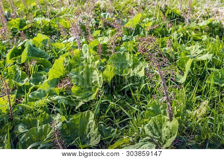 Closeup Of Flowers And Leaves Of Butterbur Or Petasites Hybridus Plants In A Dutch Nature Reserve In