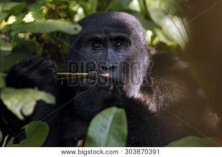 Mountain Gorilla (gorilla Beringei Beringei) Feeding, Looking Into The Camera. Bwindi Impenetrable N