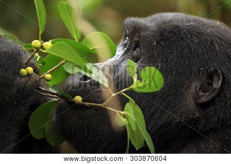 Close-up Of A Mountain Gorilla (gorilla Beringei Beringei) Feeding On Berries. Bwindi Impenetrable N
