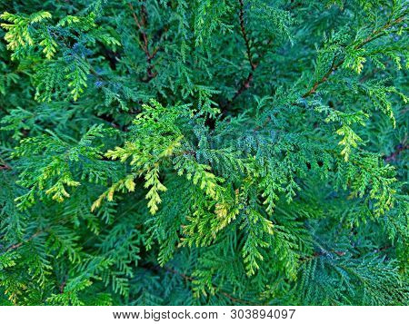 Cypress Cedar Tree Branch. Thuja Occidentalis Bush Is Evergreen Coniferous Tree In Cypress Family Cu