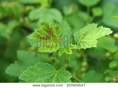 The Young Leaves Of Red Currant Struck With A Gallic  Plant Louse
