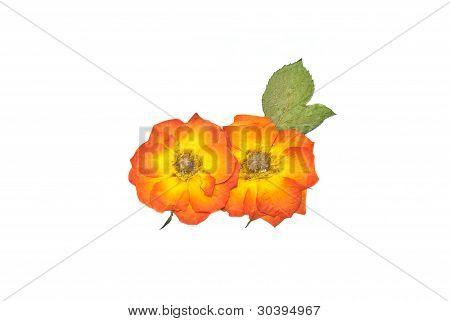 Press Rose Flower And Leaf