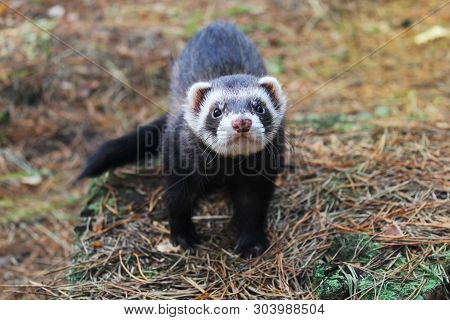 Sable Ferret Posing On Moss Deep In Summer Forest. Fluffy Ferret Pet Posing In The Forest