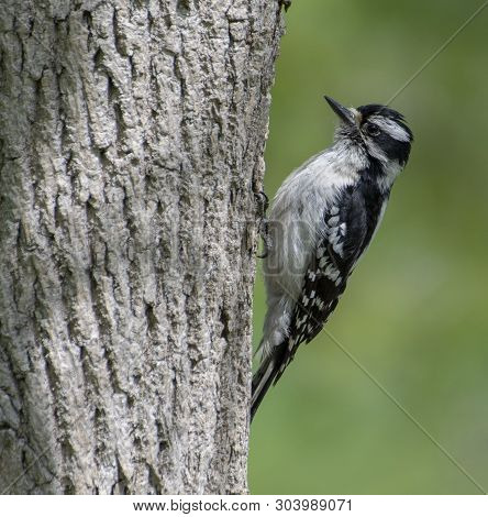 Female Downy Woodpecker Perched On The Trunck Of A Tree.