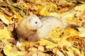 Ferret play in yellow autumn leaves. Outdoor shot. Selective focus poster