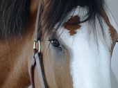 Close up photo of the face of a Clydesdale horse poster