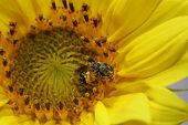 Close up of a pollen covered bee on a sunflower poster