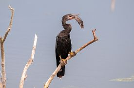 An Anhinga With A Fish In Its Mouth That It Caught.