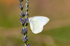 A Sulfur Butterfly Pollinating A Lavender Plant.