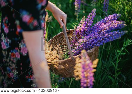 Woman Gathering Lupine In Rustic Basket Close Up In Sunny  Countryside At Sunset. Tranquil Moment