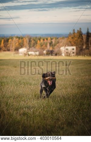 Czech Mustache Caught In The Sprint. Portrait Of A Rough-coated Bohemian Pointer In Running And In A