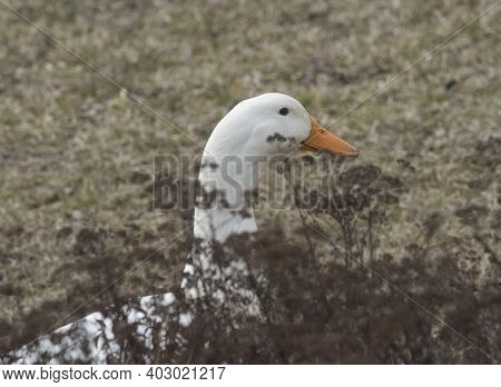 Free Range Geese In Agricultural Husbandry