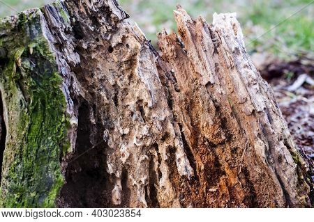 The Old Rotten Stump Is Eaten Inside Various Insects