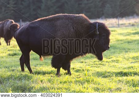 Big Bufallo On The Grass, Male, Mamal
