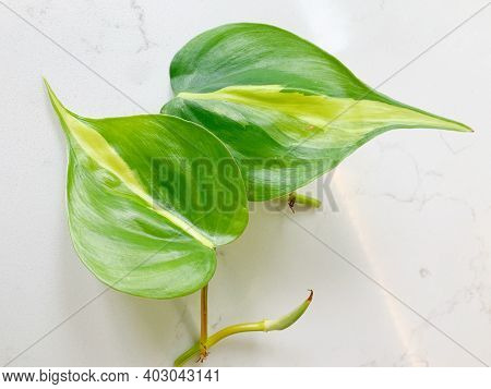 Philodendron Brasil, Pothos, Houseplant, Plants, Clippings, Propagation