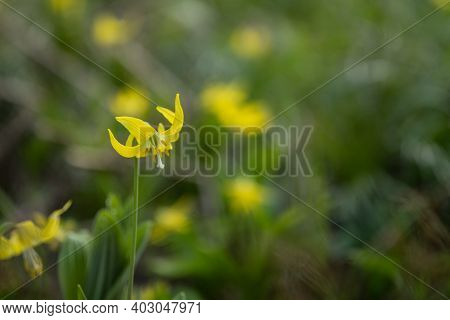Avalanche Lily Blooms Bright Yellow In Glacier National Park With Copy Space
