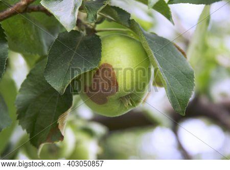 Monilinia Fructigena. Initial Stage Of Disease Fruit Rot. Fungus Illness Of The Apple Tree. Start Of