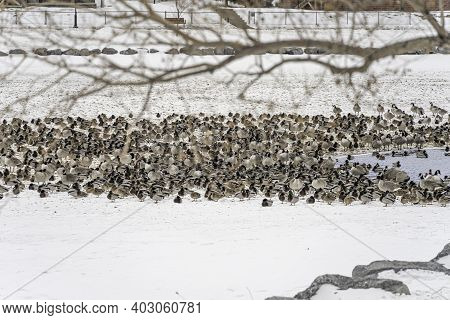 Flock Of Migrating Birds In A Pond In Winter
