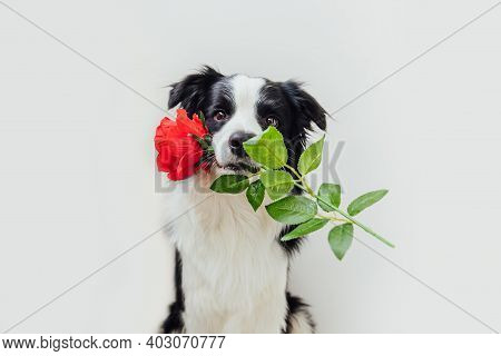 St. Valentine's Day Concept. Funny Portrait Cute Puppy Dog Border Collie Holding Red Rose Flower In