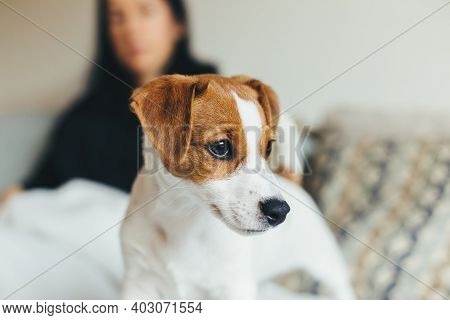 Adorable Puppy Jack Russell Terrier Sitting On The Sofa.   Portrait Of A Little Dog.