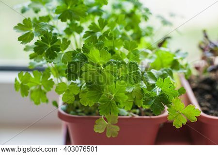 Growing Herbs On The Windowsill. Young Sprouts Of Parsley In A Pot On A White Windowsill