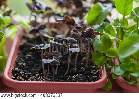 Growing Herbs On The Windowsill. Young Sprouts Of Lilac Basil And Arugula In A Pot On A White Window