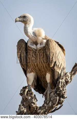 Griffon Vulture Or Eurasian Griffon Or Gyps Fulvus Closeup Or Portrait Perched On Tree During Winter