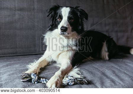 Funny Portrait Of Cute Smiling Puppy Dog Border Collie On Couch Indoors. New Lovely Member Of Family