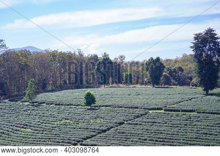 Beautiful Scenic View Of Tea Plantations With The Sky And Mountains Background In Thailand. Space Fo