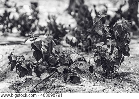 Black White No Colour Toned Plants With Small Leaves Growing On Sand Background. Flora Botany. Rarit