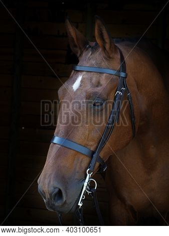 A Head Shot Of A Bay Hunter In A Double Bridle.