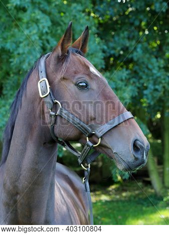 A Head Shot Of A Bay Thoroughbred Horse In A Head Collar