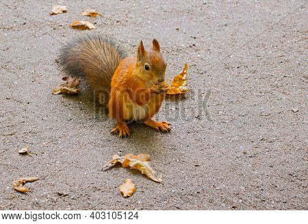 Squirrel eating the nut in the autumn park. Cute squirrel with nut in the paws. Closeup of squirrel sitting on the ground and eating nuts