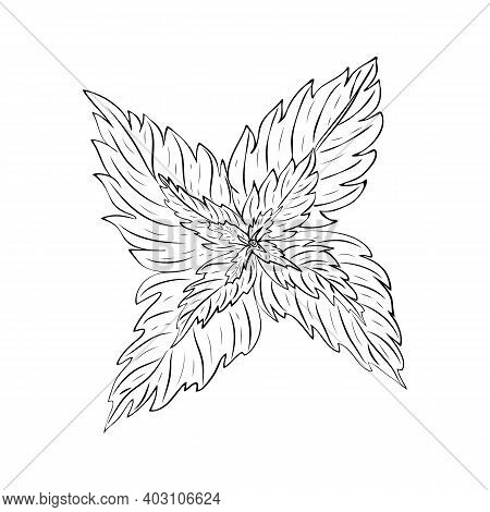 Hand Drawn Mint Leaves Isolated On White Background. Outline Sketch Of Mint Branch. Vector Illustrat