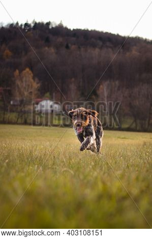 Portrait Of Running Hunting Dog Across Field Near A Forest At Sunset In Set Sail Champagne And Antiq