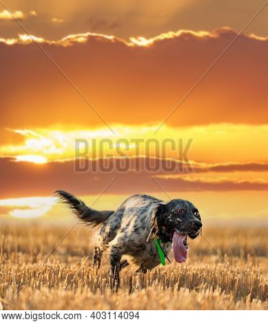 Pointer Pedigree Dog Running Over The Field Against The Sun
