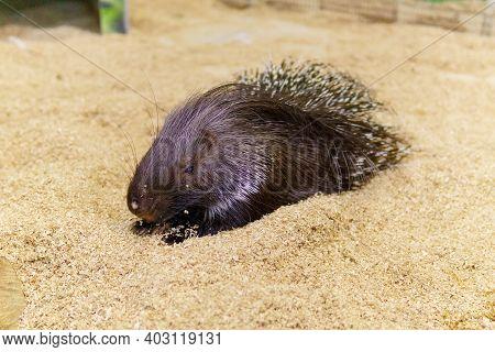 Crested Porcupine Erethizon Dorsatum, Hystrix Africaeaustralis In A Zoo
