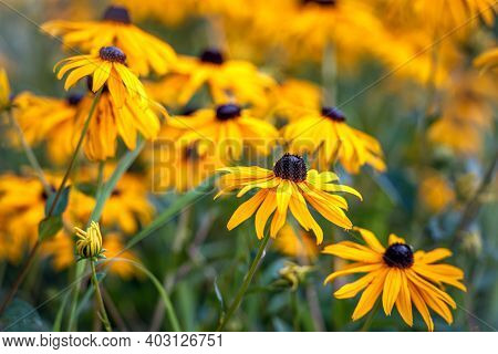 Closeup Of Flowering Coneflower Or Black-eyed-susan Plants. In The Foreground Is A Newly Budding Flo