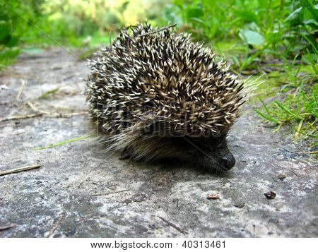 small hedgehog in a green grass