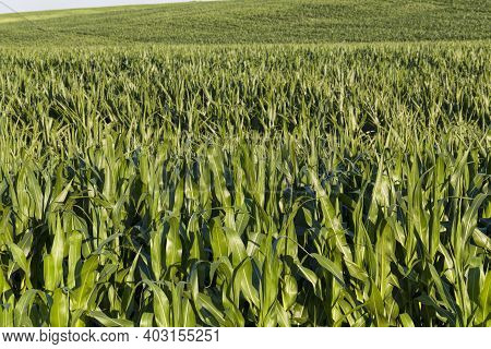 Green Bright Sweet Corn In The Field For Agricultural Food, Corn Is Used To Feed People Or Feed Live