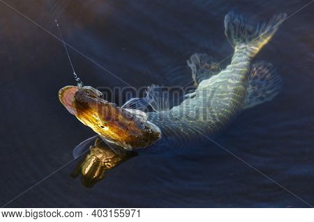 Freshwater Northern Pike Fish Know As Esox Lucius . Fishing Concept, Good Catch - Big Freshwater Pik