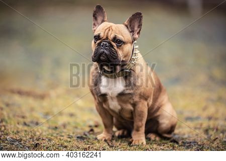 Obeying French Bulldog Sitting Outdoors Awaiting Orders.