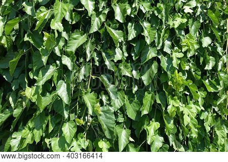 Green Leafage Of Mulberry In Mid June